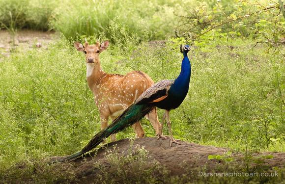 Deer & Peacock   Rajasthan   India