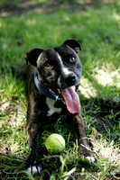 Archie | Staffordshire Bull Terrier